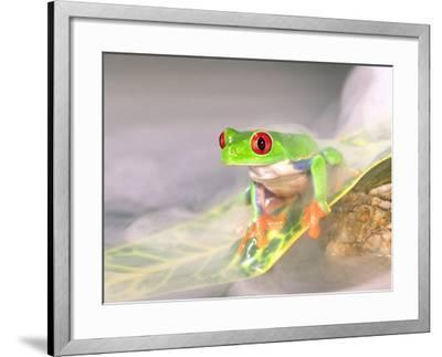 Red Eye Tree Frog in the Mist, Native to Central America-David Northcott-Framed Photographic Print