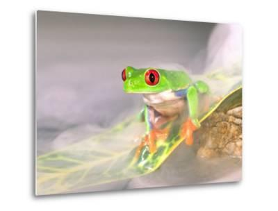 Red Eye Tree Frog in the Mist, Native to Central America-David Northcott-Metal Print