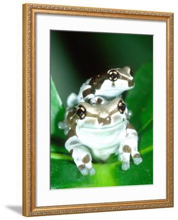 Amazon Cave Frog, Native to Northern South America-David Northcott-Framed Photographic Print
