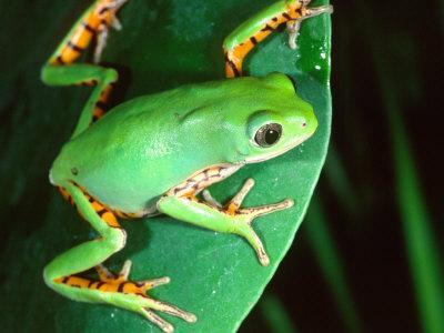 Tiger Leg Monkey Frog, Native to Peru-David Northcott-Framed Photographic Print