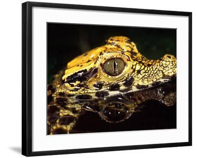 African Dwarf Crocodile Hatchlings, Native to Africa-David Northcott-Framed Photographic Print