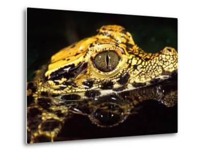 African Dwarf Crocodile Hatchlings, Native to Africa-David Northcott-Metal Print
