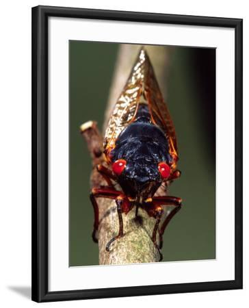 Seventeen Year Cicada, Pennsylvania, USA-David Northcott-Framed Photographic Print