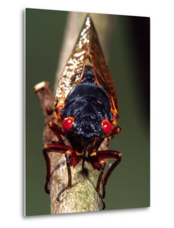 Seventeen Year Cicada, Pennsylvania, USA-David Northcott-Metal Print