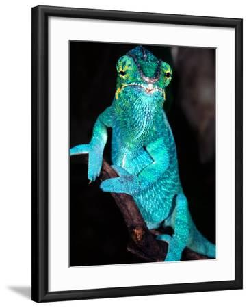 Nosy Be Blue Phase Panther Chameleon, Native to Madagascar-David Northcott-Framed Photographic Print