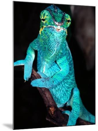Nosy Be Blue Phase Panther Chameleon, Native to Madagascar-David Northcott-Mounted Photographic Print