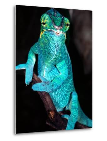 Nosy Be Blue Phase Panther Chameleon, Native to Madagascar-David Northcott-Metal Print