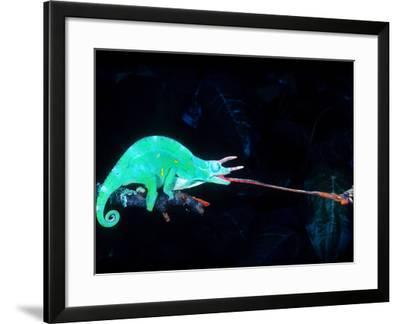 Three-horned Chameleon Capturing a Cricket, Native to Camerouns-David Northcott-Framed Photographic Print