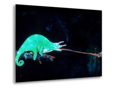 Three-horned Chameleon Capturing a Cricket, Native to Camerouns-David Northcott-Metal Print