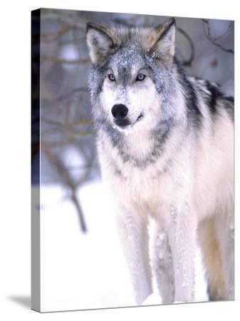 Timber Wolf, Utah, USA-David Northcott-Stretched Canvas Print