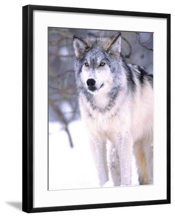 Timber Wolf, Utah, USA-David Northcott-Framed Photographic Print