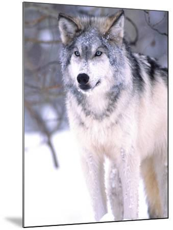 Timber Wolf, Utah, USA-David Northcott-Mounted Photographic Print