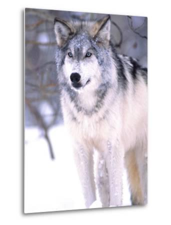 Timber Wolf, Utah, USA-David Northcott-Metal Print