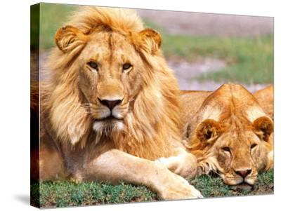 Pair of African Lions, Tanzania-David Northcott-Stretched Canvas Print