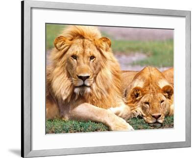 Pair of African Lions, Tanzania-David Northcott-Framed Photographic Print