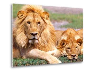 Pair of African Lions, Tanzania-David Northcott-Metal Print