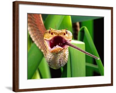 Striped Eyelash Viper-David Northcott-Framed Photographic Print