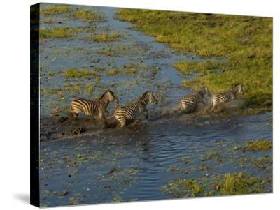 Burchell's Zebra Crossing Flood Waters, Mombo Area of Chief's Island, Okavango Delta, Botswana-Pete Oxford-Stretched Canvas Print