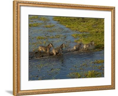 Burchell's Zebra Crossing Flood Waters, Mombo Area of Chief's Island, Okavango Delta, Botswana-Pete Oxford-Framed Photographic Print