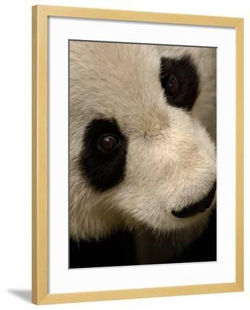 Giant Panda Family, Wolong China Conservation and Research Center for the Giant Panda, China-Pete Oxford-Framed Photographic Print