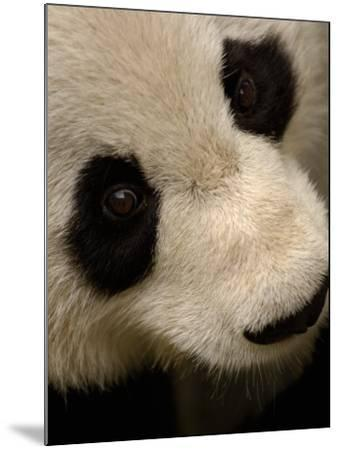 Giant Panda Family, Wolong China Conservation and Research Center for the Giant Panda, China-Pete Oxford-Mounted Photographic Print