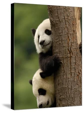 Giant Panda Babies, Wolong China Conservation and Research Center for the Giant Panda, China-Pete Oxford-Stretched Canvas Print
