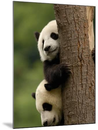 Giant Panda Babies, Wolong China Conservation and Research Center for the Giant Panda, China-Pete Oxford-Mounted Photographic Print