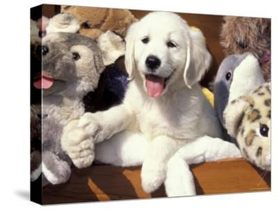 Golden Retriever Puppy with Toys-Lynn M^ Stone-Stretched Canvas Print