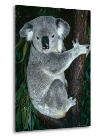 Koala, in Tree, Queensland, Australia-Lynn M^ Stone-Metal Print