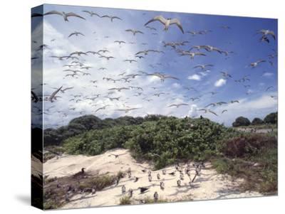 Tern Colony on Tubbataha Reef Philippines-Jurgen Freund-Stretched Canvas Print