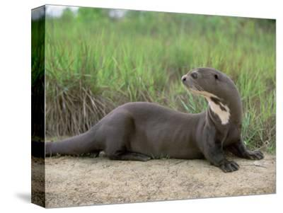 Giant Otter, Guyana-Pete Oxford-Stretched Canvas Print