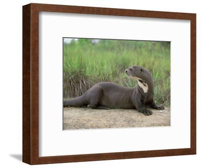 Giant Otter, Guyana-Pete Oxford-Framed Premium Photographic Print