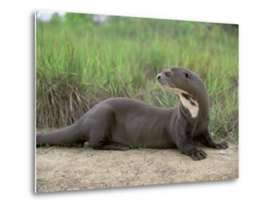 Giant Otter, Guyana-Pete Oxford-Metal Print