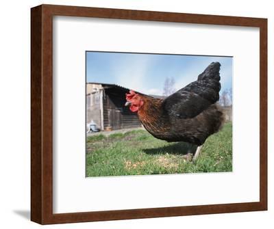 Domestic Hen Free Range, Scotland, UK-Pete Cairns-Framed Premium Photographic Print