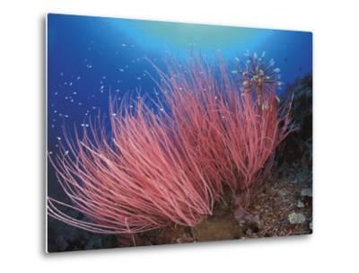 Featherstar, on Fan Coral, Sulu-Sulawesi Seas, Indo Pacific-Jurgen Freund-Metal Print