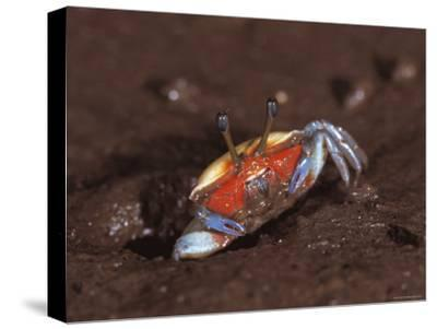 Fiddler Crab, Busuanga Island, Philippines-Jurgen Freund-Stretched Canvas Print