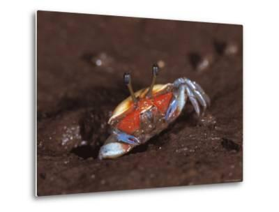 Fiddler Crab, Busuanga Island, Philippines-Jurgen Freund-Metal Print