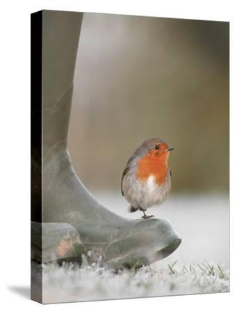 Robin Perched on Boot, UK-T^j^ Rich-Stretched Canvas Print