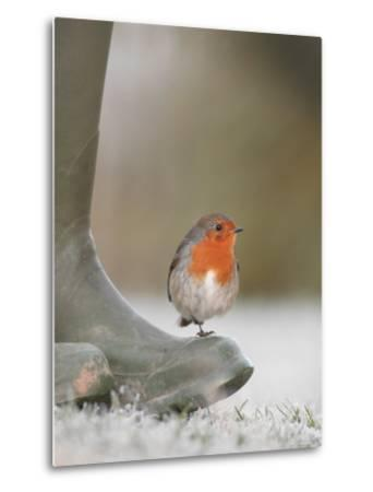 Robin Perched on Boot, UK-T^j^ Rich-Metal Print