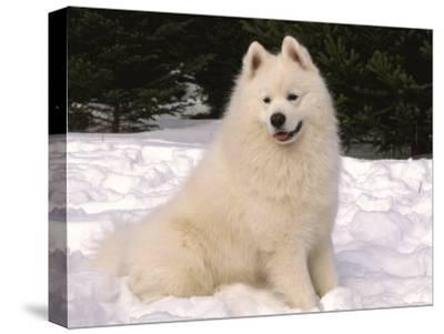 Samoyed Dog in Snow, USA-Lynn M^ Stone-Stretched Canvas Print