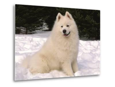 Samoyed Dog in Snow, USA-Lynn M^ Stone-Metal Print