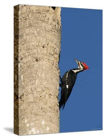 Pileated Woodpecker, Female at Nest Hole in Palm Tree, Fl, USA-Rolf Nussbaumer-Stretched Canvas Print