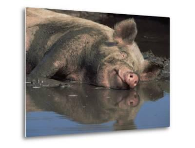 Domestic Pig Wallowing in Mud, USA-Lynn M^ Stone-Metal Print