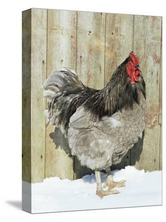 Blue Orpington Domestic Chicken, in Snow, USA-Lynn M^ Stone-Stretched Canvas Print