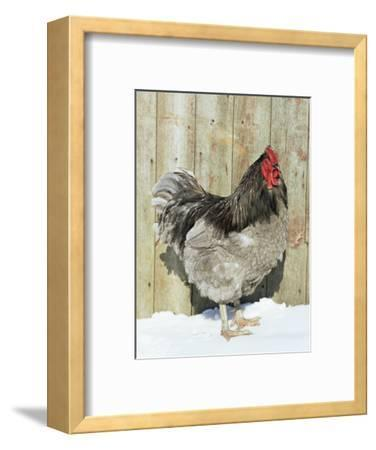 Blue Orpington Domestic Chicken, in Snow, USA-Lynn M^ Stone-Framed Premium Photographic Print