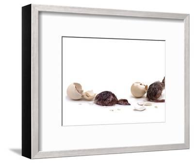 Sequence Showing an Ostrich {Struthio Camelus) Hatching-Jane Burton-Framed Premium Photographic Print