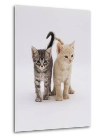 Domestic Cat (Felis Catus) 8-Week-Old Kittens-Jane Burton-Metal Print
