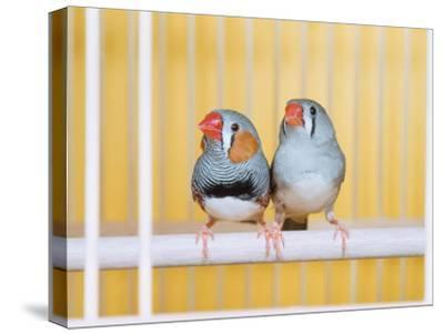 Spotted Sided Zebra Finches, Pair in Cage (Poephila / Taeniopygia Guttata)-Reinhard-Stretched Canvas Print