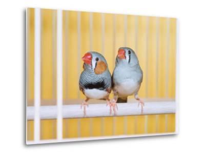 Spotted Sided Zebra Finches, Pair in Cage (Poephila / Taeniopygia Guttata)-Reinhard-Metal Print