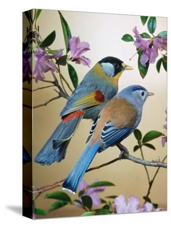 Silver-Eared Mesias (Leiothrix Argentauris), from Asia-Reinhard-Stretched Canvas Print